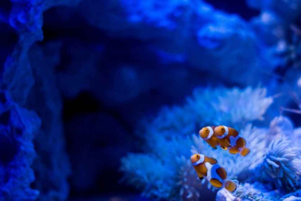 Clownfish conservation program